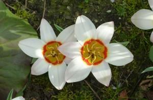 bulbes_a_fleurs
